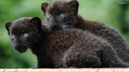 Black panther cubs wallpaper 1920x1080 1849
