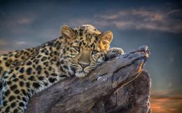 Leopard Lion Cute Sitting HD Animal Wallpaper 1877