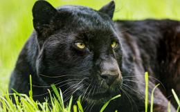 wallpapers of black leopard best desktop background images of black 478