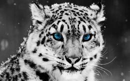 View and Download White Leopard HD Wallpaper 567