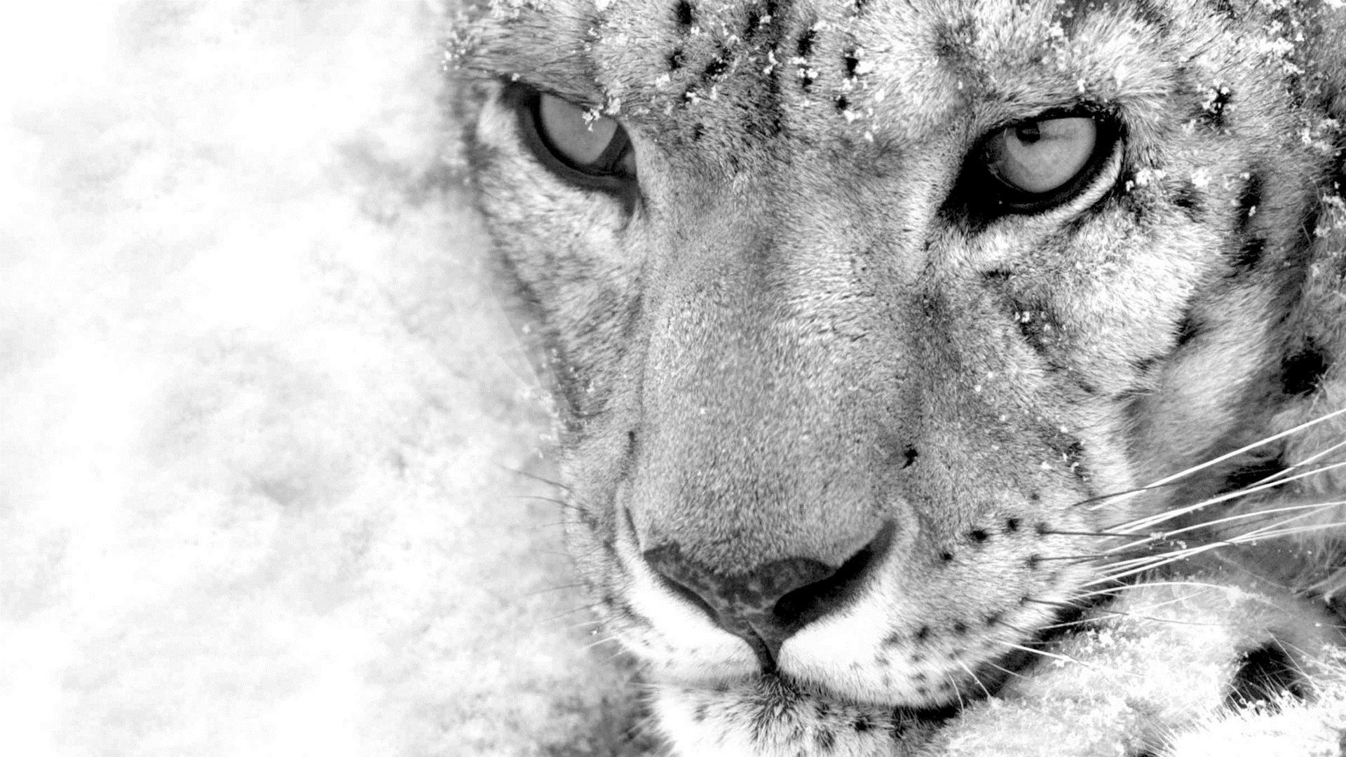 leopard wallpapers free download