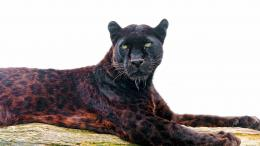 black leopard picture free download lovely high definition wallpapers 137