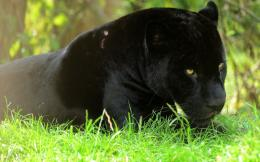 Black Leopard HD Wallpapers 715