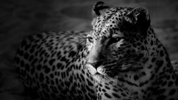 Full View and Download Black And White Leopard Wallpaper with 1220
