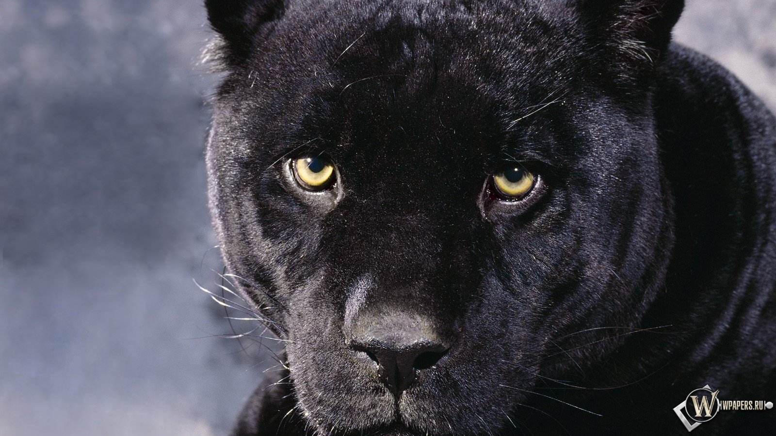 black leopard backgrounds - photo #10
