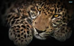 File Name : Leopard Wallpaper Full HD 572