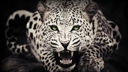 Description: Leopard Wallpaper is a hi res Wallpaper for pc desktops 1409