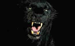 Black Leopard HD Wallpapers 1808