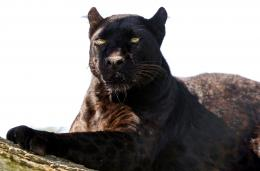 hd wallpapers of black leopard free download fabulous hd wallpapers 1786