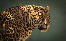 Leopard Cool Hd Wallpaper 1920x1200 Animal Leopard Cool Hd Wallpaper 352
