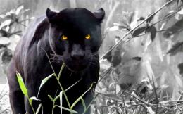 Panther Facts & Wallpapers 822