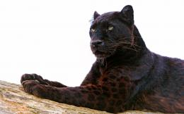 black leopard hd wallpapers free download awesome desktop background 585