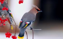 Bohemian Waxwing Bird Wallpapers 1871
