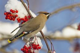 Bohemian waxwing male on berries Finland Desktop Wallpaper 1820
