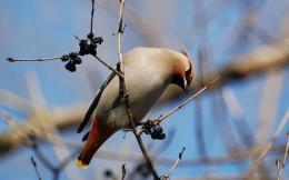 Bohemian Waxwing Bird Wallpapers 1928