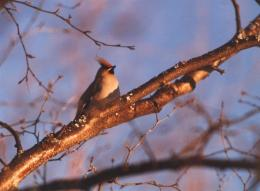 Bohemian Waxwing Bombycilla Garrulus Image Only 987
