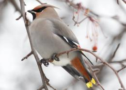 Bohemian Waxwing Bird Wallpapers 1522