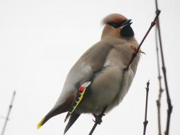 Bohemian Waxwing Bird Wallpapers 908