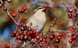 Bohemian Waxwing Bird Wallpapers 1578