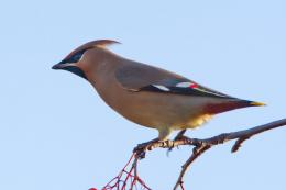 Bohemian Waxwing Bird Wallpapers 1755