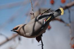 Bohemian Waxwing bird wallpapers in hd desktop background images of 656