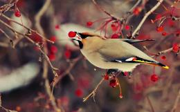 HD Bohemian Waxwing Bird Wallpaper 1286