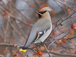 HD Bohemian Waxwing Bird HD Wallpaper 772
