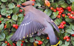 Bohemian waxwing Bird Animal Animals 2880x1800 hdw eweb4 com 517