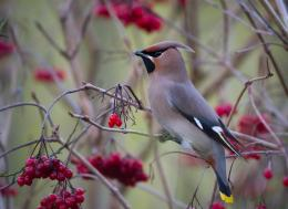 Bohemian Waxwing Bird Download wallpaper 463