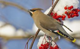 more animals bird waxwing bohemian waxwing 773