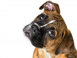 Boxer Dog, Boxer dog desktop wallpaper 1137