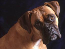 Desktop dog boxer wallpapers 1468