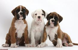 related images of boxer dog wallpaper desktop baby boxer puppies 1747