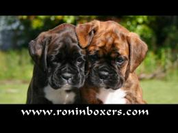 Boxer Puppy Wallpaper is available for download in following sizes: 438