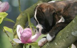 Boxer puppy wallpaper 1920x1200 1702
