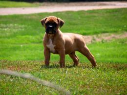 wallpaper dog boxer puppy new desktop wide wallpaper white young boxer 1058