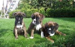 wallpaper boxer puppy desktop widescreen wallpaper boxer puppy dog 835