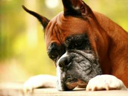 Tag: Boxer Dog Wallpapers, Images, Photos, Pictures and Backgrounds 1841