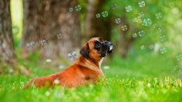 boxer puppy dog best hd desktop wallpaper boxer puppy dog 1750