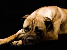 Boxer Dog Wallpapers, Boxer Dog Desktop Wallpapers, Boxer Dog Desktop 719