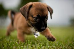 Boxer puppy for the first time in the street wallpapers and images 1205