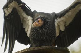 california condor birds hd wallpapers beautiful desktop background 1283