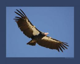 California Condor Wallpaper 1495