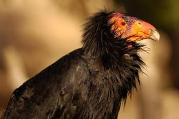 california condor birds high resolution wallpapers beautiful desktop 1859