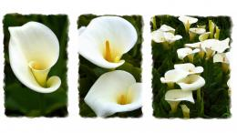 rate select rating give calla lily collage 1 5 give calla lily 1621