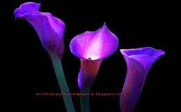 calla lily flowers wallpaper 1653