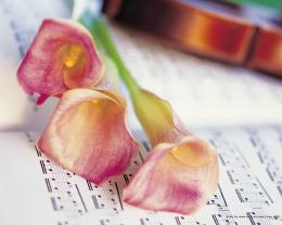 Pink Calla Lilies and violine is a great wallpaper for your computer 1799