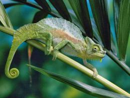 19 Colorful Chameleon Wallpapers HD 1631