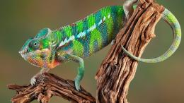 Chameleon Wallpaper 1678