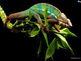 Chameleon HD Wallpaper #3 138
